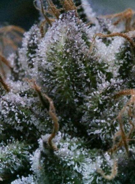 Tuna God Regular Cannabis Seeds by BC Bud Depot