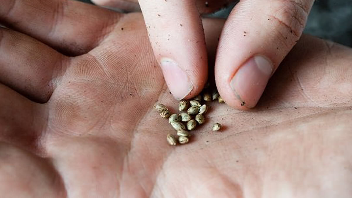 What Happens If You Touch Marijuana Seeds with Your Bare Fingers?