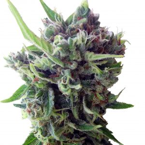 Zamaldelica Auto Feminised Cannabis Seeds by Ace Seeds