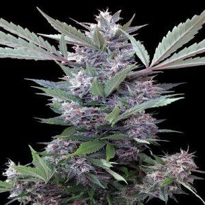 Bubba Kush x PCK Feminised Seeds by Ace Seeds