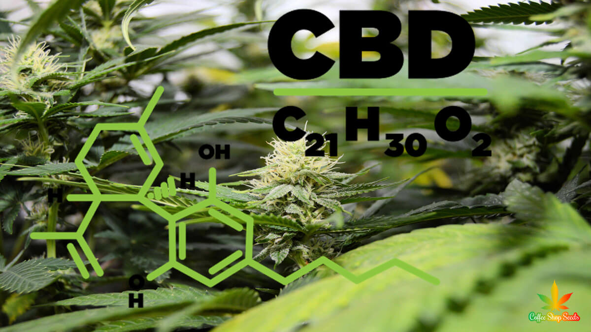 Everything You Need to Know About CBD Seed Growth