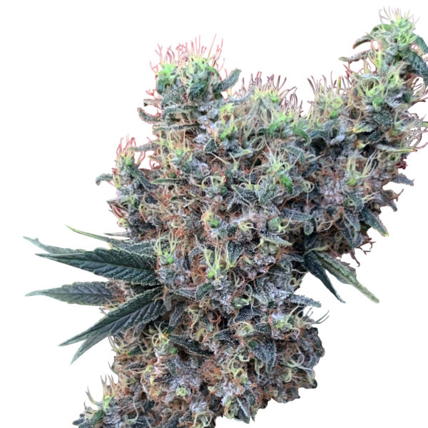 Golden Tiger x Panama Feminised Seeds (Limited Edition)