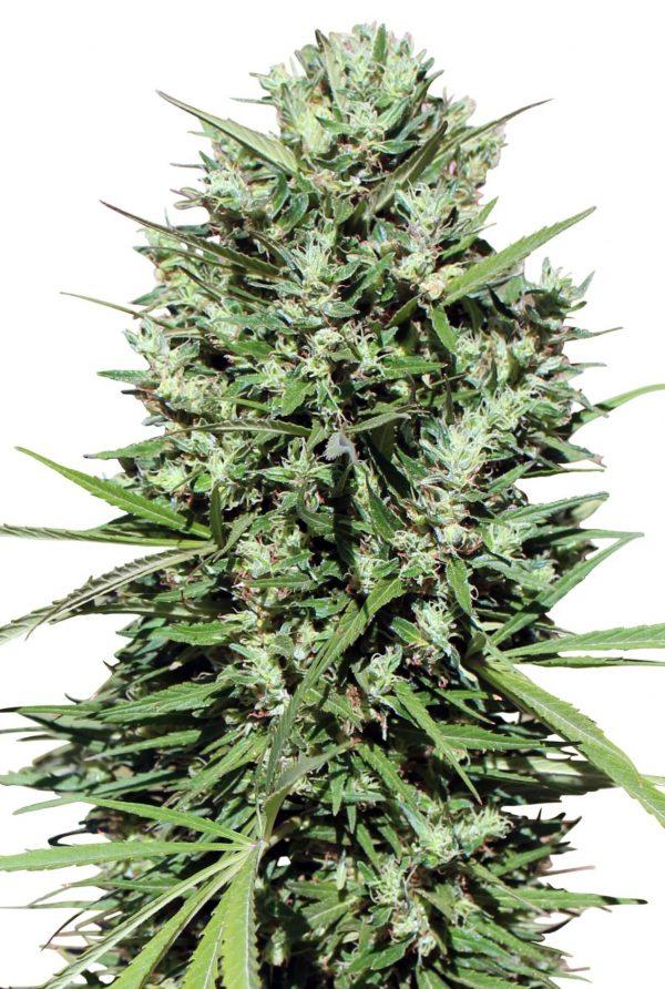 Morocco Beldia Kif Cannabis Seeds by Ace Seeds