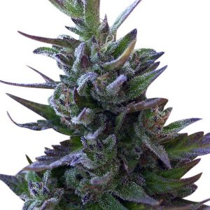 Nepal Mist Regular Seeds (Limited Edition) by Ace Seeds