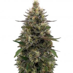 Pakistani Skunk Feminised Seeds (Limited Edition) by Ace Seeds