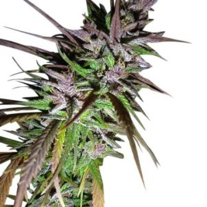 Purple pakistani Haze feminised cannabis seeds by Ace Seeds