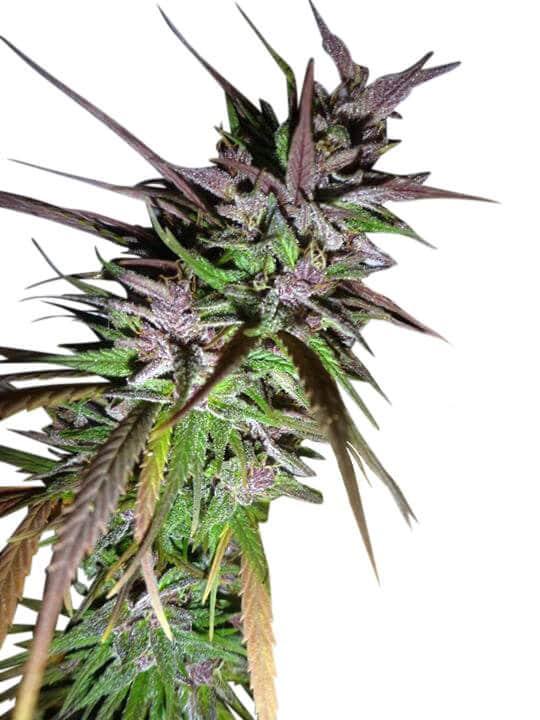 Purple pakistani Haze feminised cannabis seeds by Ace Seeds