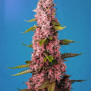 Red Hot Cookies Feminised Cannabis Seeds by Sweet Seeds