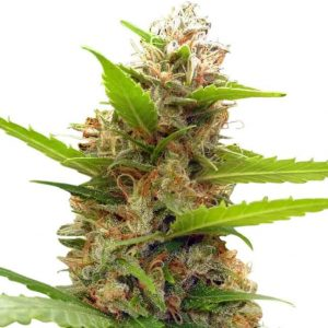 Zamaldelica x Nepal Jam Feminised Seeds (Limited Edition) by Ace Seeds