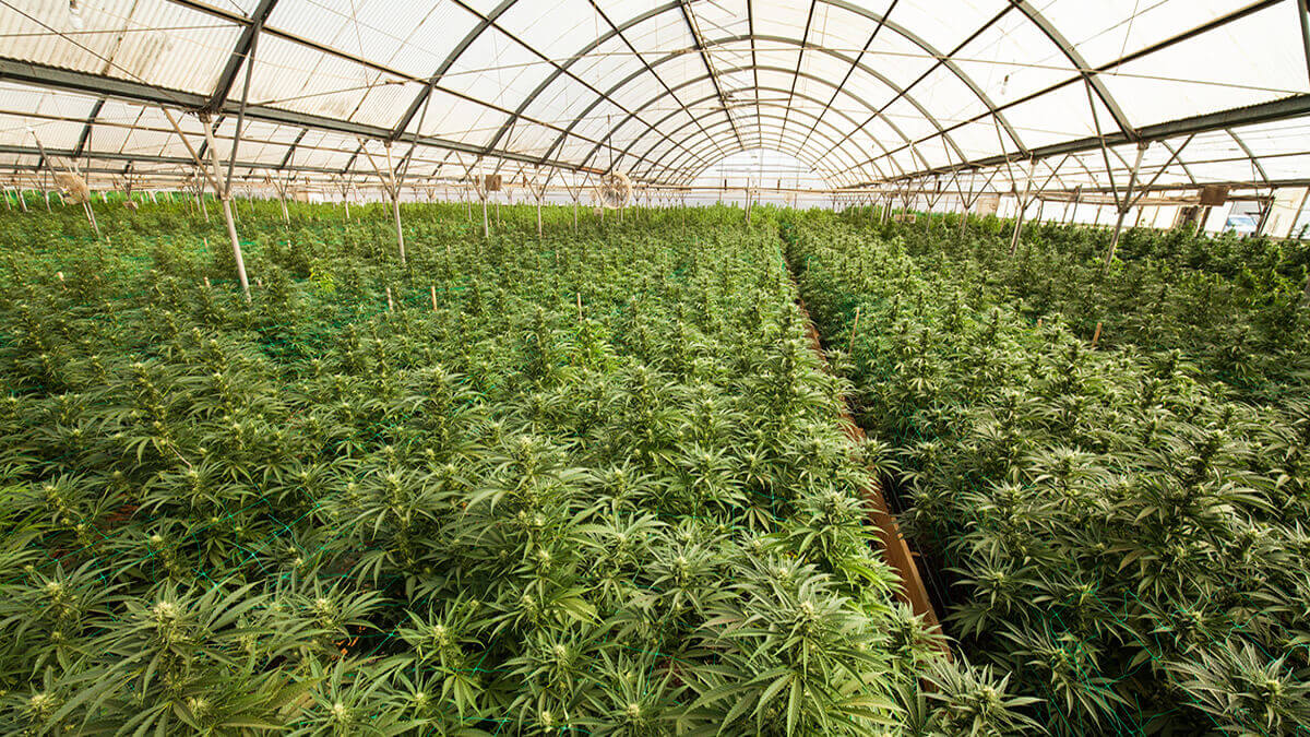 Legally grow hemp in the uk