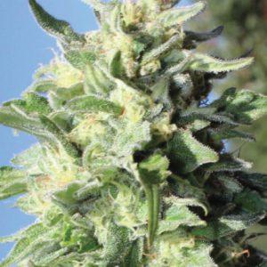 Banana Mango Feminised Cannabis Seeds by Humboldt Seed Co.