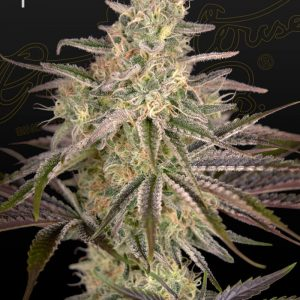 Cloudwalker Feminised Cannabis Seeds by Greenhouse Seed Co.