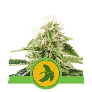Fat Banana Auto Feminised Cannabis Seeds by Royal Queen Seeds