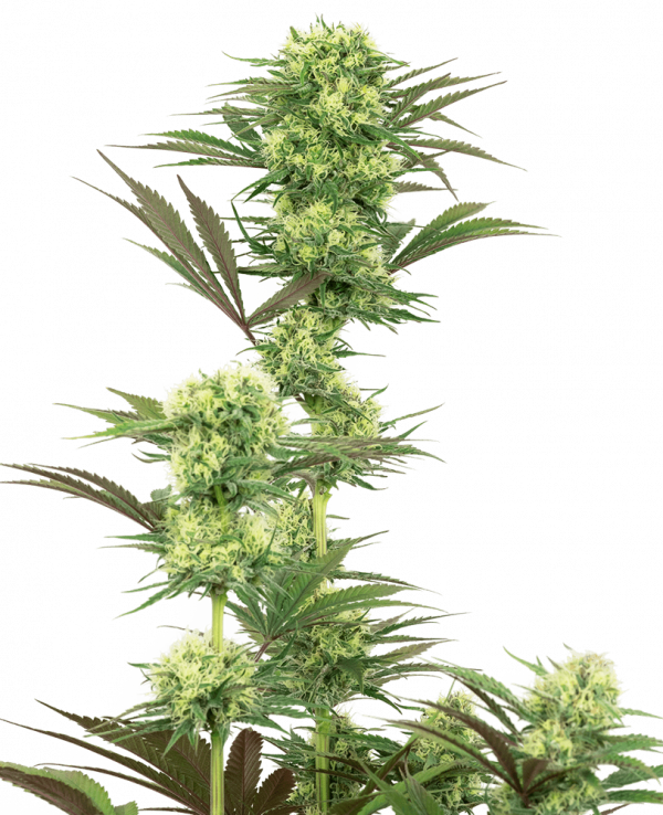 Guava Jelly Feminised Cannabis Seeds by White Label Seed Company