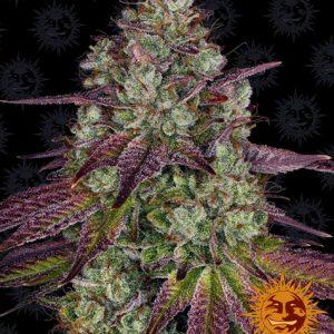 Mimosa EVO Feminised Cannabis Seeds by Barney's Farm Seeds