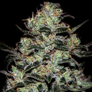 Moby Dick Autoflowering cannabis seeds