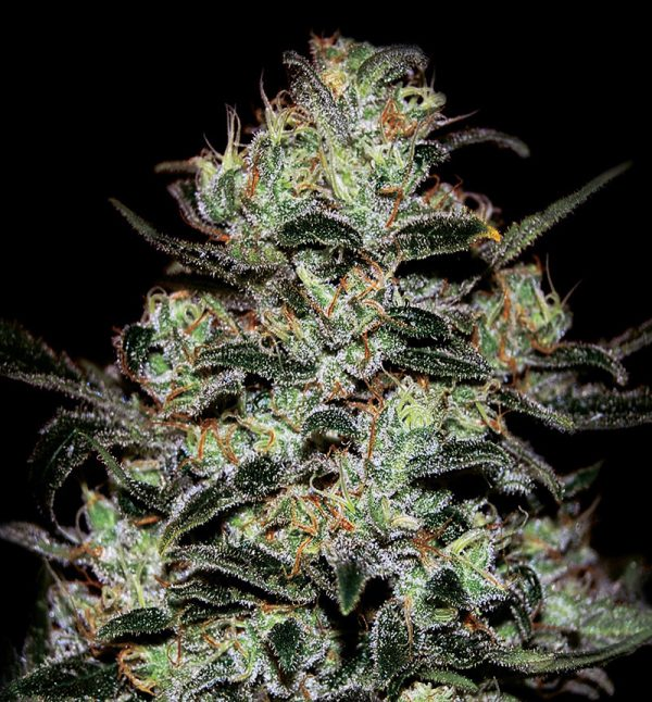 Moby Dick Autoflowering cannabis seeds