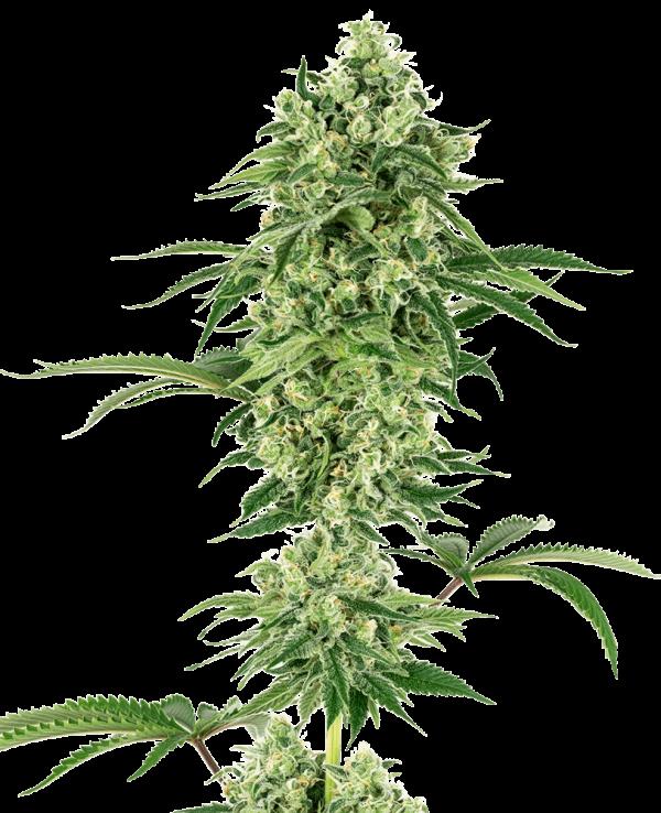 Nicole Hindu Kush Feminised Cannabis Seeds by White Label Seed Company