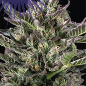 you wanted to get really stoned, and now you will with Notorious THC Feminised!
