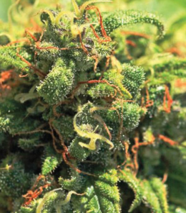 Pineapple Upside Down Cake Feminised Cannabis Seeds by Humboldt Seed Co.