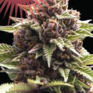 Squirt Feminised Cannabis Seeds by Humboldt Seed Co.