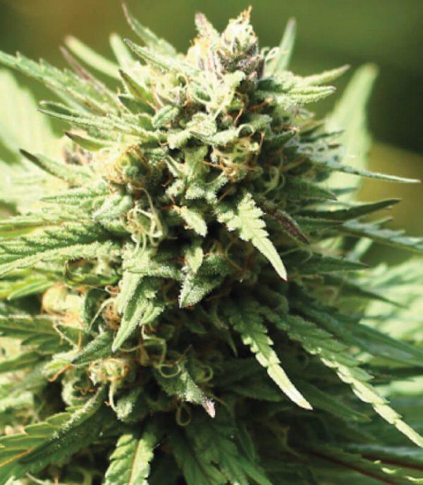 Stoopid Fruits Feminised Cannabis Seeds by Humboldt Seed Co.