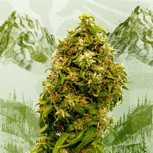 Swiss Dream CBD Feminised Cannabis Seeds by Kannabia Seeds