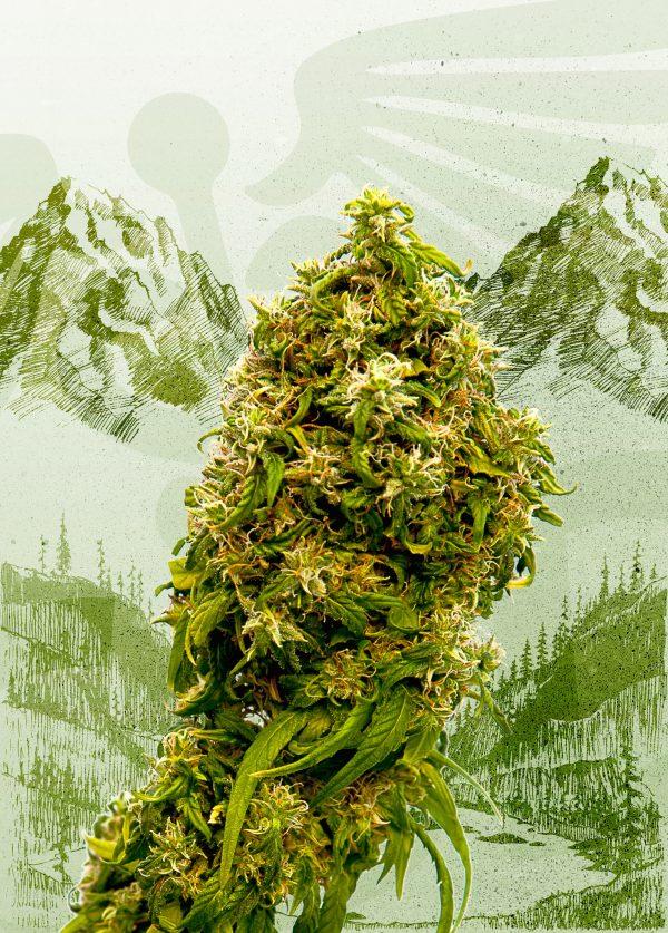 Swiss Dream CBD Sementes de Cannabis Feminizadas por Kannabia Seeds