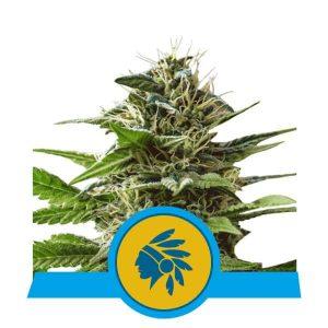 Tatanka Pure CBD Feminised Cannabis Seeds by Royal Queen Seeds