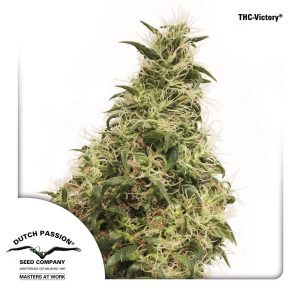 THC-Victory Feminised Cannabis Seeds by Dutch Passion