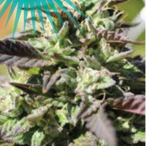 The Bling Feminised cannabis seeds