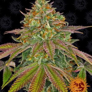 nherits much of its power from its Girl Scout Cookies parent, crossed with Cherry Pie