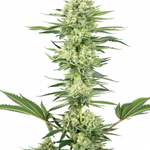 White Gorilla Haze Feminised Cannabis Seeds by White Label Seed Company