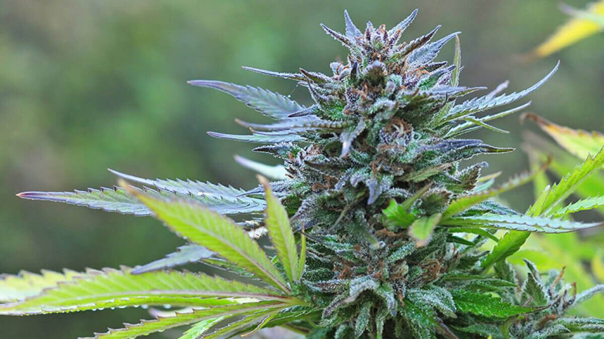 Grow Cannabis Buds to Maximise your Harvest