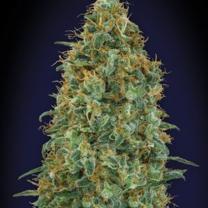 Blueberry Feminised Cannabis Seeds by 00 Seeds