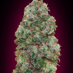 Bubble Gum Feminised Cannabis Seeds by 00 Seeds