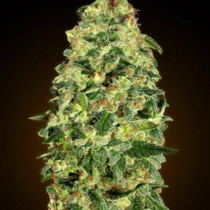 Auto California Kush Feminised Cannabis Seeds by 00 Seeds