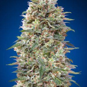 California Kush Feminised Cannabis Seeds by 00 Seeds