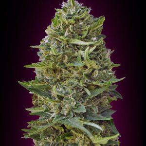 Caramel Kush Feminised Cannabis Seeds by 00 Seeds