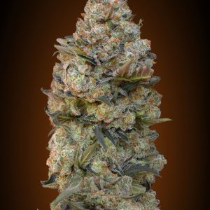 Chocolate Skunk Feminised Cannabis Seeds by 00 Seeds
