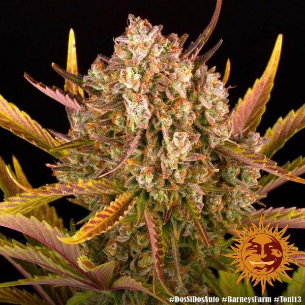 Dos Si Dos Auto Feminised Seeds