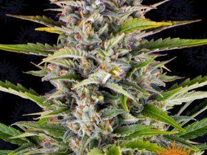 Very High THC (20% +)