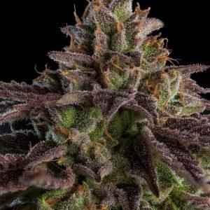 Kmintz feminised cannabis seeds