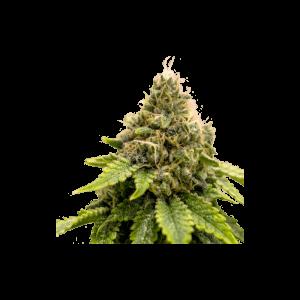 Karel's Dank Regular Cannabis Seeds by Super Sativa Seed Club