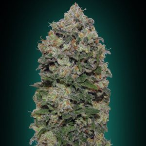 Northern Lights Feminised Cannabis Seeds by 00 Seeds