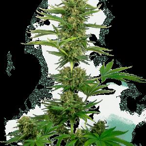Satin Black Domina CBD Feminised Cannabis Seeds by Sensi Seeds