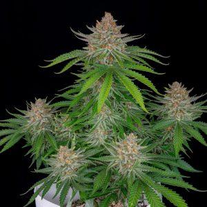 Strawberry Pie autoflowering cannabis seeds