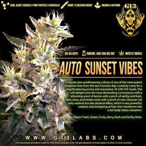 Sunset Vibes Auto Feminised Cannabis Seeds by G13 Labs