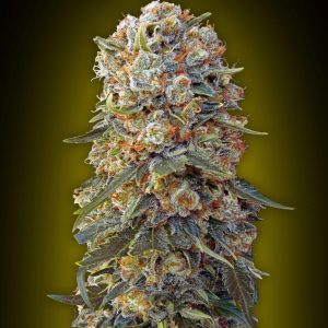 Sweet Critical Feminised Cannabis Seeds by 00 Seeds