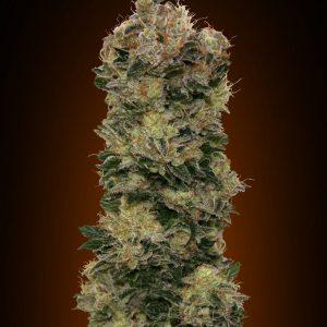 Sweet Soma Auto Feminised Cannabis Seeds by 00 Seeds